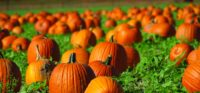 pumpkinpatch_small-993x461